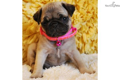 pug puppies for sale orange county honey pug puppy for sale near orange county california 24676071 85c1