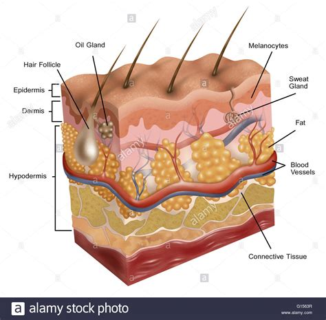 Cross Section Of Human Skin by Illustration Of Human Skin This Illustration Depicts A