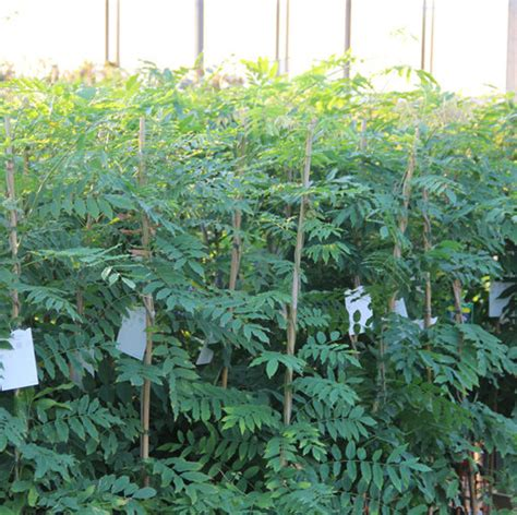 blauwe regen 150 cm klimplant wisteria flor macrobotrys cont 5 0l 150