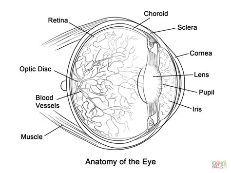 printables structure of human eye worksheet gozoneguide