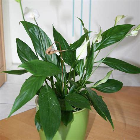 Einblatt Pflege Tipps by Pflanzen F 252 R Anf 228 Nger Einblatt Heimwerkerqueen