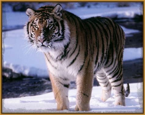 imagenes de unicornios salvajes fotos de tigres salvajes nuevos imagenes de tigres