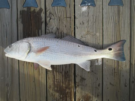 puppy drum puppy drum redfish capt tony s quot walkingangler quot