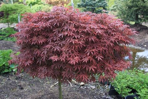 25 best ideas about japanese maple tree on japanese maple japanese