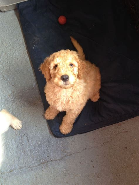 labradoodles puppies for sale hshire labradoodle puppies tarporley cheshire pets4homes