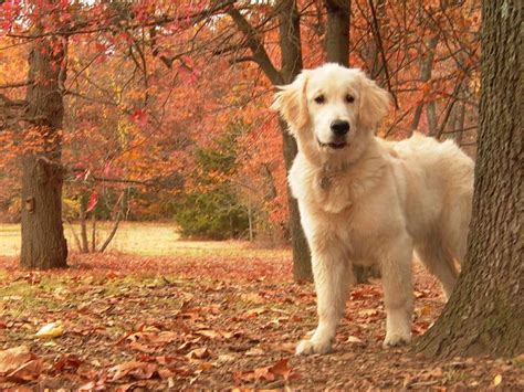 recherche golden retrievers golden retriever en images dinosoria