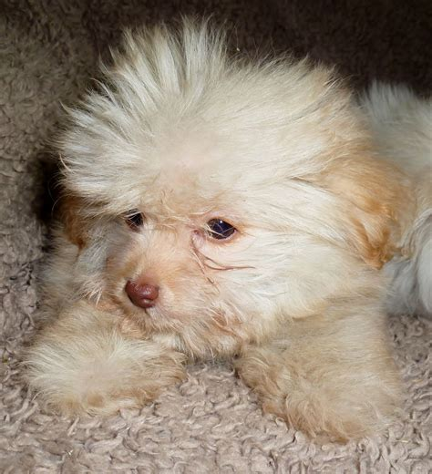 pomeranian x poodle beautiful pomeranian x poodle puppy s northton northtonshire pets4homes