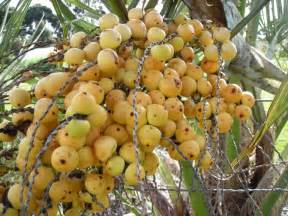Fruit Tree Maintenance - jelly palm or wine palm butia capitata