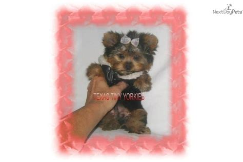 yorkie teddy micro parti yorkie breeds picture
