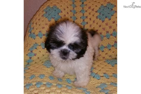 shih tzu puppies for sale las vegas corky shih tzu puppy for sale near las vegas nevada 7d542223 68a1