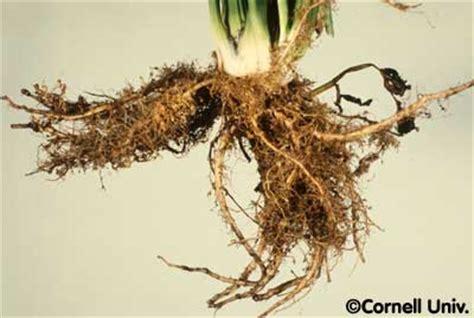 root knot nematode resistant vegetables celery nematode photo