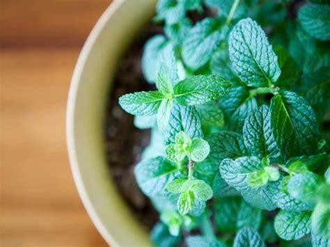 herbs  grow   shade hgtv