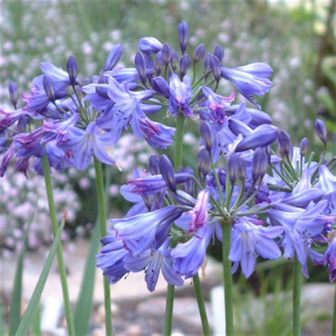 amaryllidaceae dorset perennials