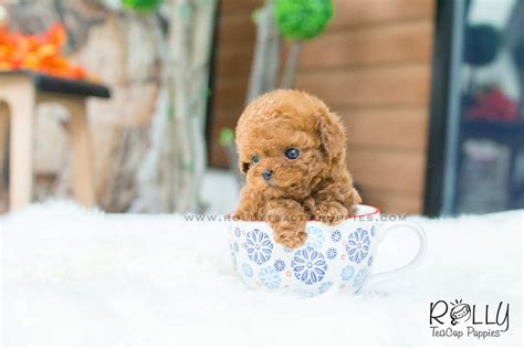 teacup poodle puppies for sale near me wendy poodle f rolly teacup puppies