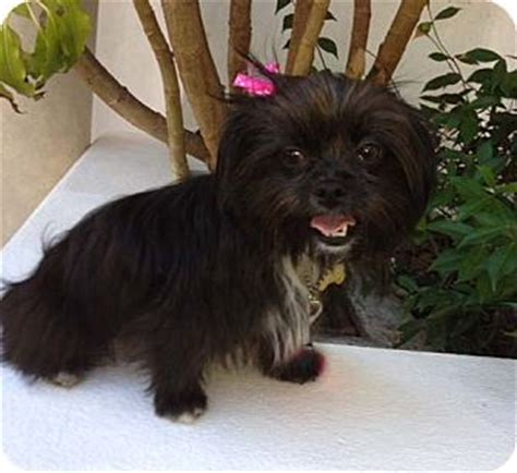 affenpinscher yorkie mix juliet adopted los angeles ca shih tzu affenpinscher mix