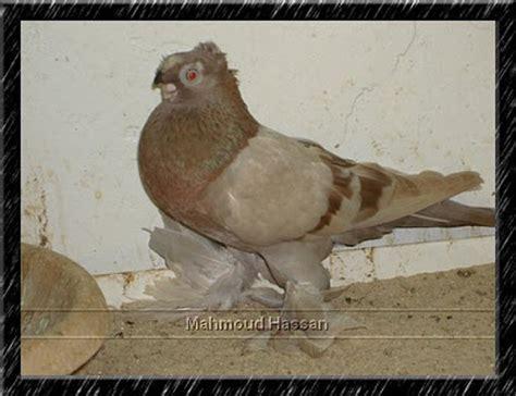 uzbek pigeons pigeon photos pigeons for sale brown bar uzbek pigeon