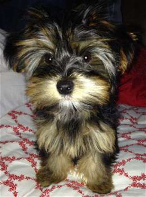 caring for teacup yorkies pics of yorkie puppies www pixshark images galleries with a bite