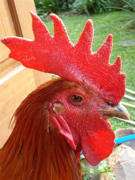 memilih dan melatih ayam pelung unggulan klub burung
