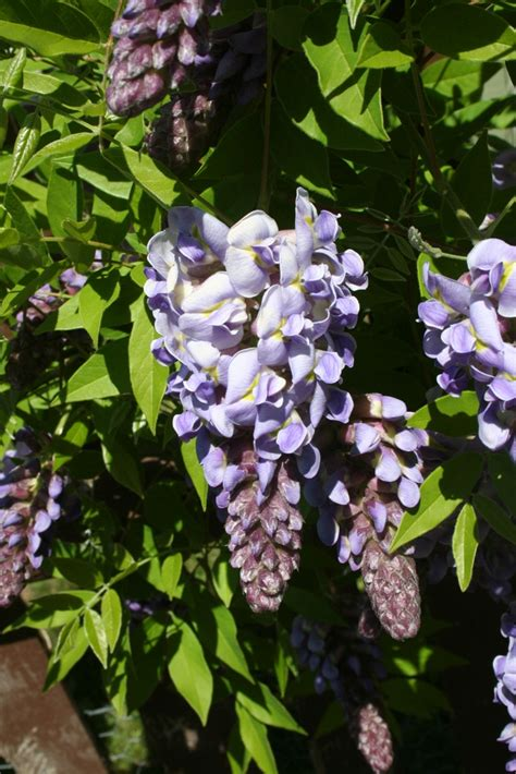 getting wisteria to bloomm our garden journal re blooming wisteria
