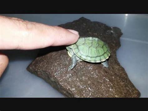 Peliharaan Anakan Kura Kura Baby Turtle bermain dengan tukik kura kura brazil ear slider
