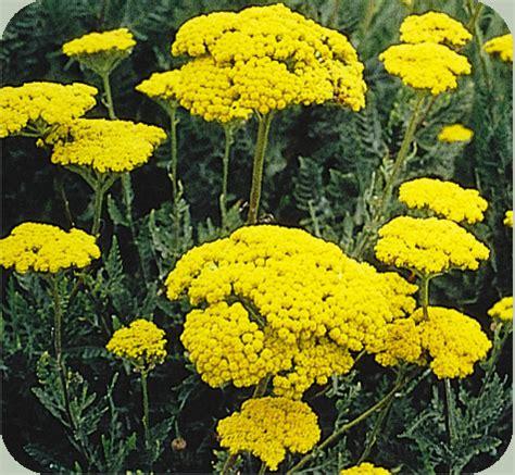 ralph edge: achillea millefolium.....yarrow