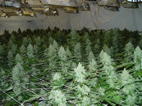 cannabis grow room how to start a grow room steps marijuana grow