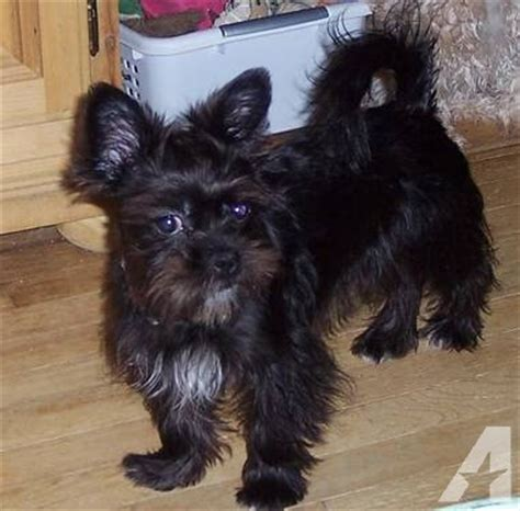westie and shih tzu mix weshi west highland white terrier shih tzu mix info puppies pictures