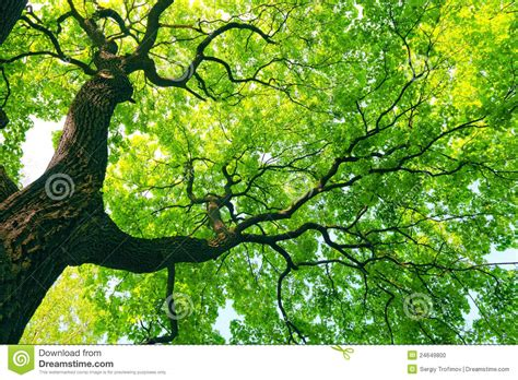 mighty tree with green leaves stock photo image 24649800