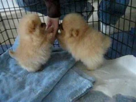 4 week pomeranian puppies 8 week pomeranian puppies they are poofs with tails i m dying from the