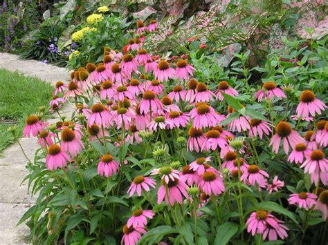plantfiles pictures echinacea species eastern coneflower