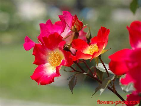 wallpaper bunga paling cantik jom lihat bunga bunga yang paling cantik dari seluruh