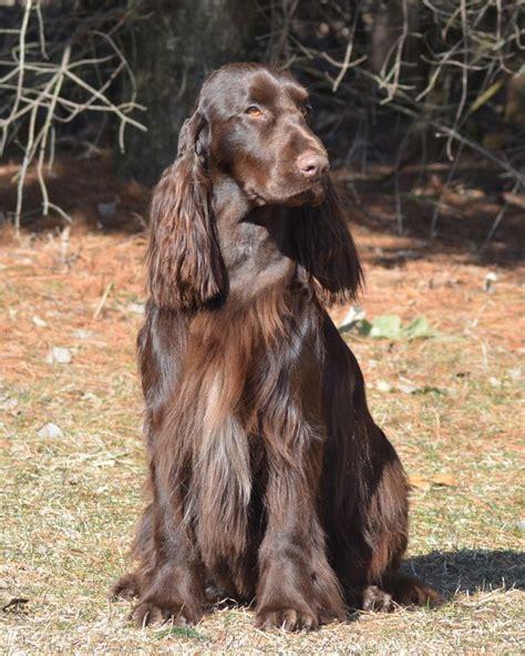 1000+ images about Х Field Spaniel on Pinterest   Field ...