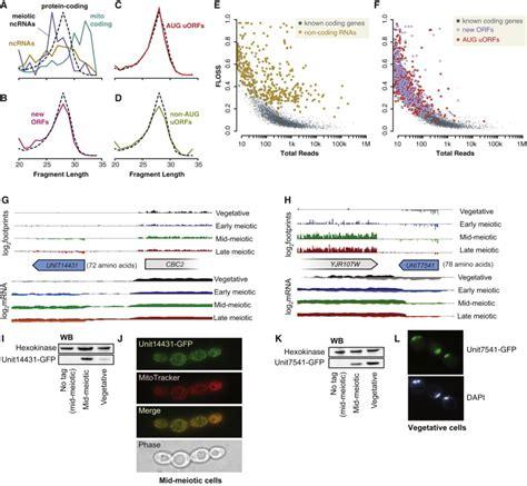 protein yield novel meiotic reading frames based on true ribosome
