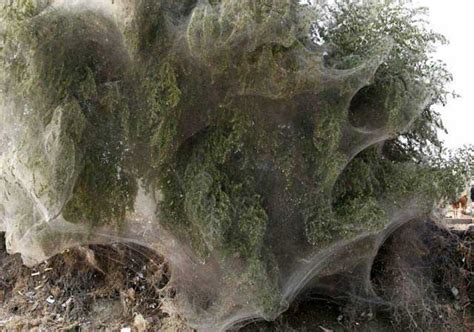 web tree trees cocooned in spider webs after pakistan floods