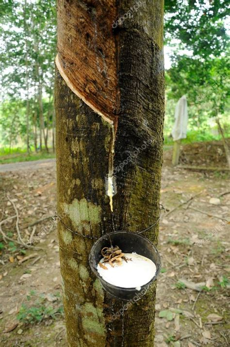 tree of rubber st extracted from rubber tree or a k a hevea