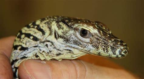 komodo kool baby lizard hatches  memphis zooborns