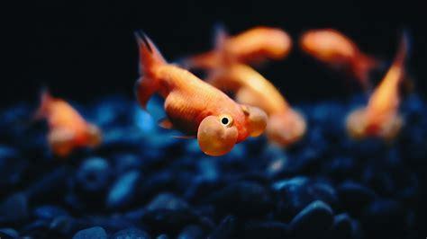 wallpaper goldfish goldfish full hd wallpaper and background 2560x1440 id