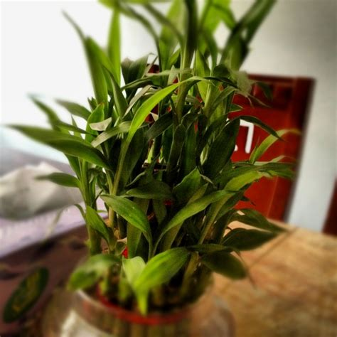 good houseplants good luck pot bamboo plant bamboo plants indoor