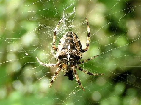 Garden Spider Features Gallery Garden Spider
