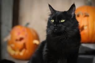 halloween black cats black cat month the perils of halloween