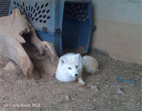 pet fox care