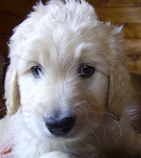 goldendoodle puppy colorado goldendoodles of colorado goldendoodle puppies ready july