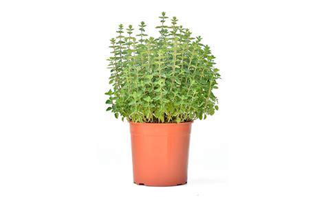 piante ricanti sempreverdi in vaso pianta in vaso 28 images glicine in vaso piante da