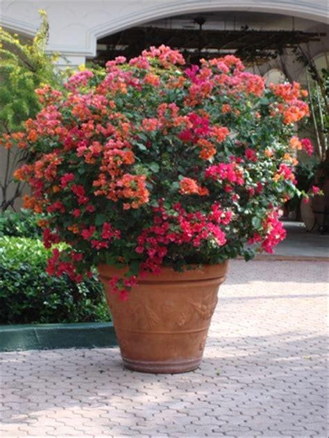 jual bunga bougenville merah  lapak cahaya bunga florist