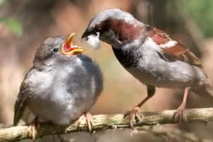 file passer domesticus male feeding chick 8 jpg