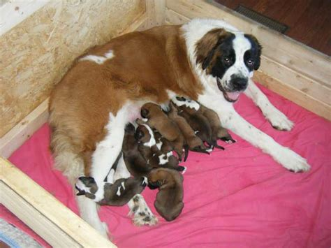 pugs for sale in wilmington nc boxer for sale nc bullmastiff puppy for sale in garner nc image may contain