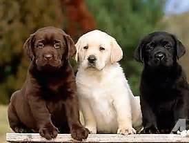 goldador puppies for sale goldador puppies lab golden retriever mix for sale in arboga california
