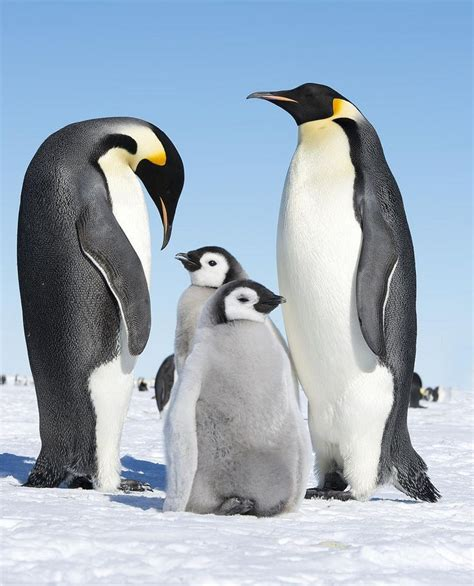 8 Facts On Penguins by Emperor Penguins Are Awesome Emperor Penguins And Babies