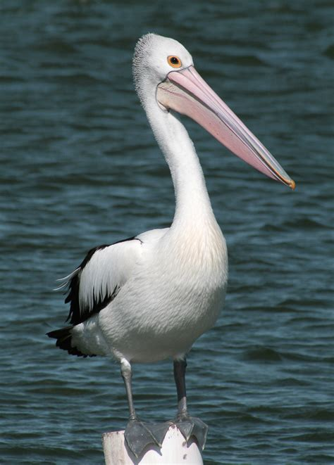 Pelican Pictures   Kids Search