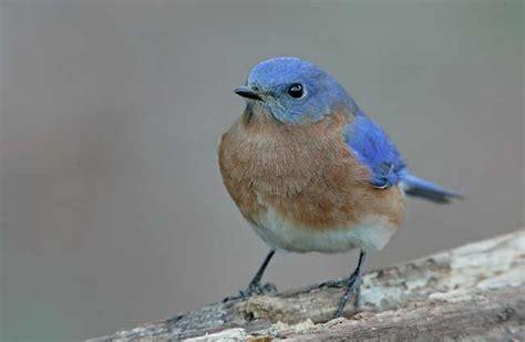 what do bluebirds eat in winter